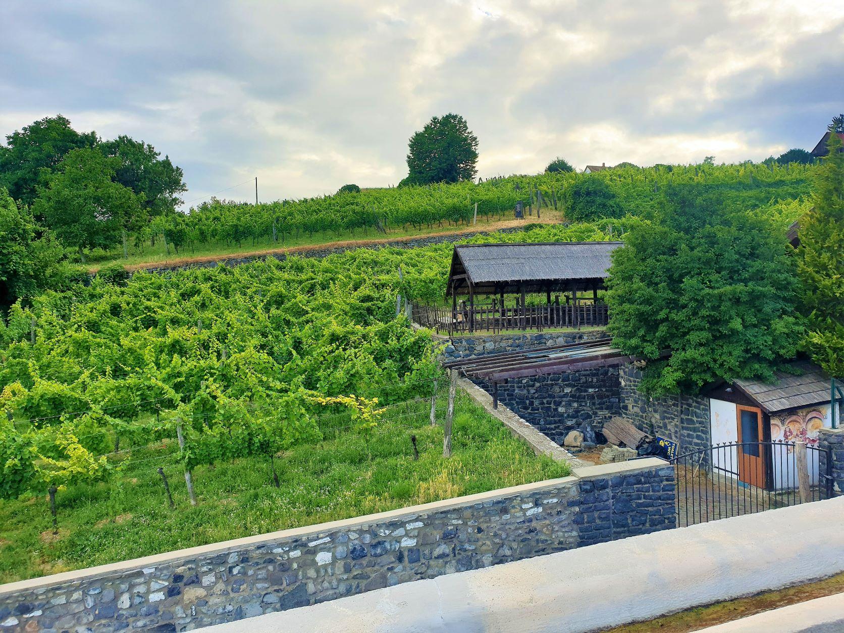 Ezekről a zöldellő tőkékről származik a szőlő, amiből a csodás helyi bor készül