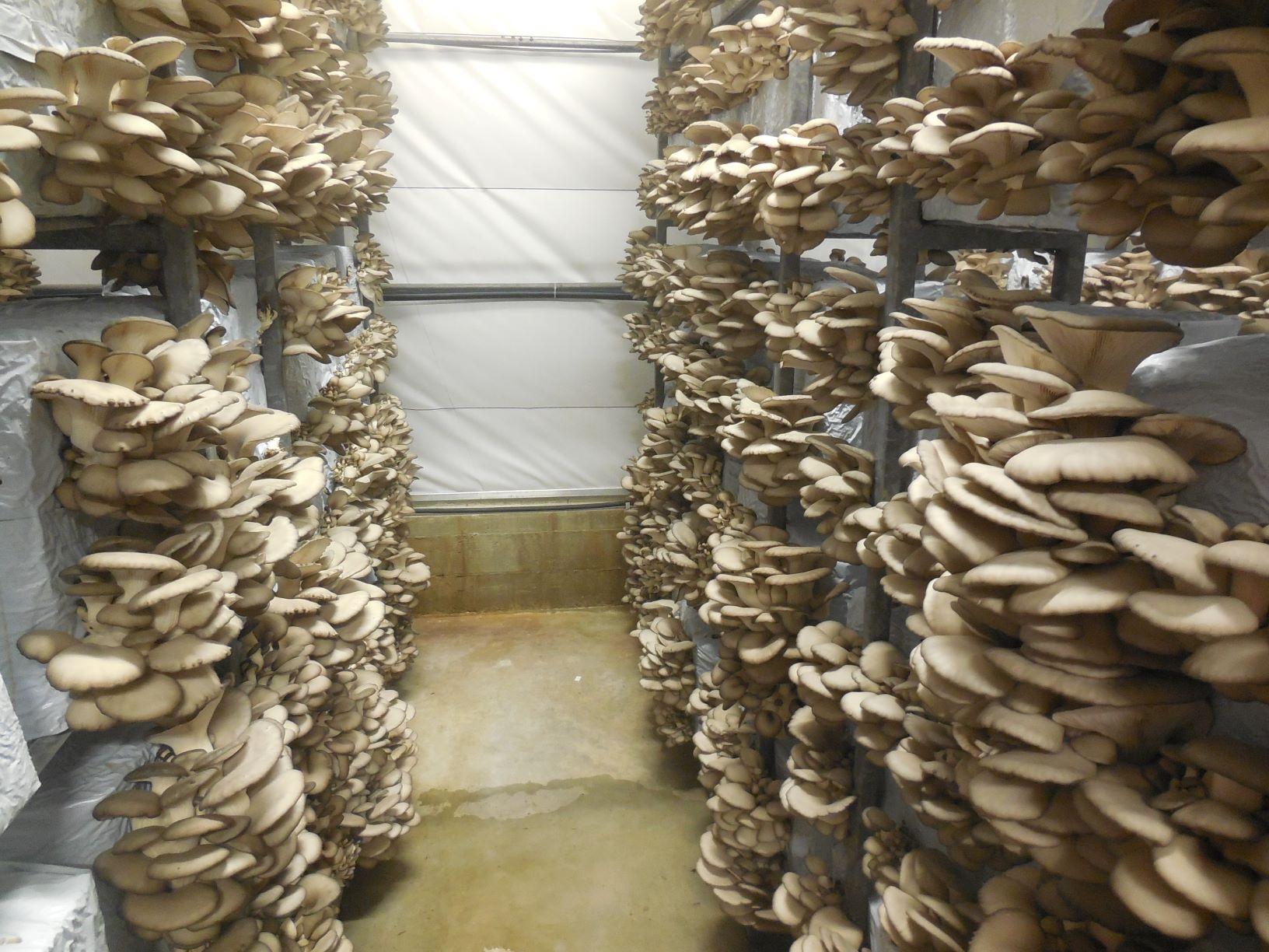 gomba: A laskagomba termesztése
